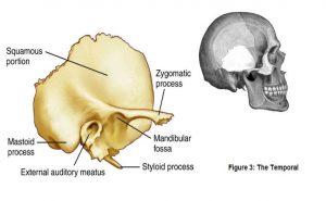 Medical illustration of the Temporal bone