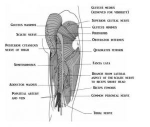 A medical illustration of the muscles of the upper leg, posterior view