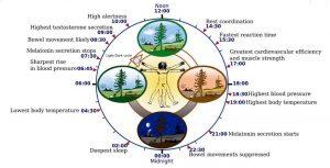 A diagram of the circadian rhythm