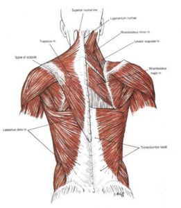 anatomical chart showing the muscles of the back