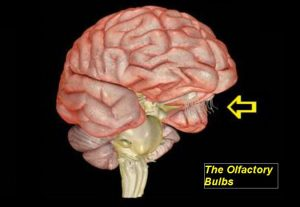 a 3d rendering of the brain showing the olfactory bulbs